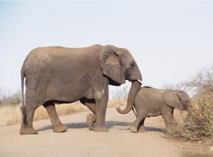 Elephant Nudge